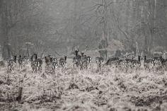 New Nordic deer #Dyrehaven Klampenborg...