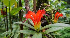 ไก่แดง Aeschynanthus hildebrandii Hemsl (Gesneriaceae), Lipstick plant. พันธุ์ไม้.com: http://www.พันธุ์ไม้.com/ไก่แดง/  ในภาคเหนือของประเทศไทยโดยเฉพาะที่ดอยสุเทพ และดอยปุย ในจังหวัดเชียงใหม่ จะมีพืชชนิดหนึ่งที่เรียกว่า ไก
