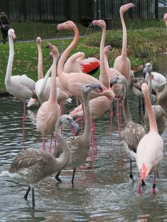 Pink Flamingos Young and old ones together