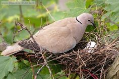 Eurasian Collared-dove (Streptopelia decaocto) A bird on a nest.