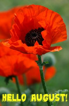Papaver princess victoria louiseoh i am in love must get papaver princess victoria louiseoh i am in love must get flowers pinterest princess victoria princess and flowers mightylinksfo
