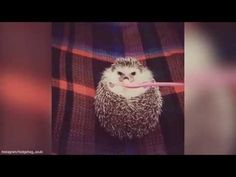 Adorable moment baby hedgehog cheers up as it's fed apple - YouTube