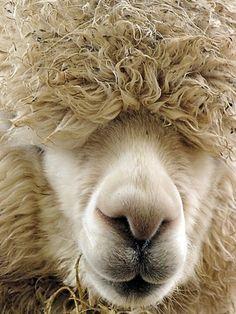 awwwwwww...........Alpaca