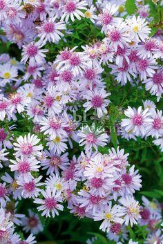 Астра Кумбе Фишакре до 100 см высоты, образующие густо ветвистые, раскидисто пирамидальные, плотные кусты. Корзинки 1,5 см диаметром, чрезвычайно многочисленные. Язычковые цветки многочисленные, розовато-белые. Трубчатые цветки более темные, слегка коричневатые.