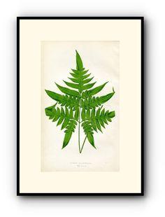 Edward Joseph Lowe Fern (Pteris Macroptera) Antique Botanical Print, 1859 Wood Block Engraving, Book Plate by TheOldMapShop on Etsy