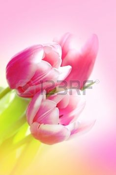Lovely pink tulips close up Stock Photo