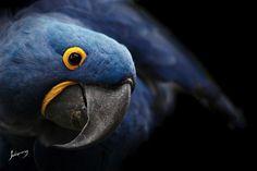 Arara Azul by Johnny Duarte
