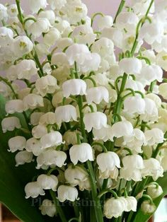 lily of valley 3 Exotic Flowers, Amazing Flowers, White Flowers, Beautiful Flowers, Lily Of The Valley Flowers, White Gardens, Horticulture, Spring Flowers, Beautiful Gardens