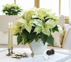 Try a snowy white palette for your holiday decorating, like using these gorgeous white #poinsettias as centerpieces! #hgtvhomeplants Care tips here -> http://hgtvhomeplants.com/know-how/entry/poinsettia-care-instructions.html