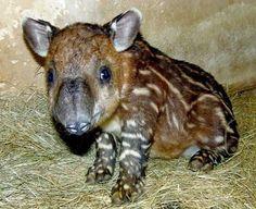 Tiny tapir