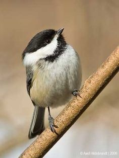 Black-capped Chickadee The Great Backyard Bird Count by Axel Hildebrandt