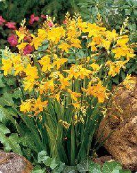 Crocosmia George Davidson (deer resistant) - Flower gardens for everyone plant flowers perennials bulbs tubers roots rhizomes corms