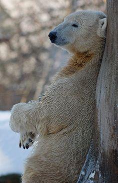 Knut the Polar Bear leaning against tree.