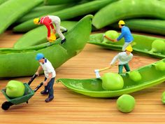 The miniature figuresdo look like humans working on life peas. The peas themselves look distorted however the overall image looks effective.