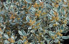 Suncrest Nurseries, Inc.: Plants for a Thirsty State Rhamnus alaternus 'Variegatus' Italian Buckthorn Front Yard Plants, Wholesale Nursery, Nurseries, Sun, Outdoor, Babies Rooms, Outdoors, Child Room, Outdoor Games