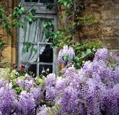 beautiful blooms in Sarlat Wisteria;