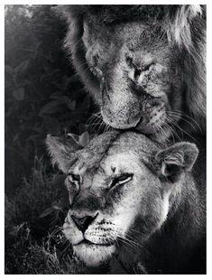 Super Tattoo Lion Black And White Animals Ideas Lion Wallpaper, Animal Wallpaper, Beautiful Creatures, Animals Beautiful, Majestic Animals, Animals And Pets, Cute Animals, Lion Couple, Lion And Lioness