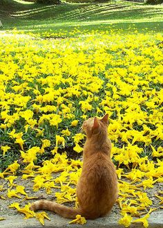 Ginger cat amid yellow flowers