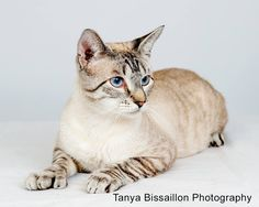 Blue Lynx Point Siamese Cats - Bing Images