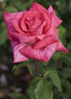 Hybrid Tea Rose: Rosa 'Pierre Cardin' (France, 2008)