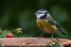 Filename: bird, blue tit, cyanistes caeruleus, foraging, garden wallpaper Resolution: File size: 204 kB Uploaded: - Date: Pictures To Paint, Free Pictures, Night Love, Blue Tit, Australian Birds, Bird Wallpaper, Cute Birds, Animals Beautiful, Birds Photos