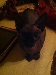 I usually find these cats repulsive but I fell in LOVE with this one! <3 I love Piaf