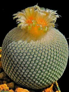 Jar shaped cactus with flower. Unusual Flowers, Unusual Plants, Rare Plants, Rare Flowers, Exotic Plants, Amazing Flowers, Cacti And Succulents, Planting Succulents, Planting Flowers