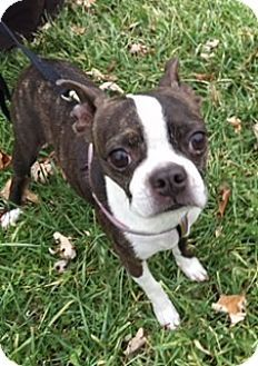 Nashville, TN - Boston Terrier. Meet Cecilia, a dog for adoption. http://www.adoptapet.com/pet/12115004-nashville-tennessee-boston-terrier