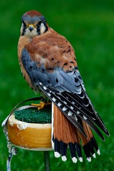 A male American Kestrel (Falco sparverius). Did you know that American Kestrels are one of the few raptors that display sexual dimorphism in their plumage? That means you can tell the gender of an American Kestrel just by looking at its feathers!