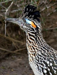 Dan Tallman's Bird Blog: Greater Roadrunner