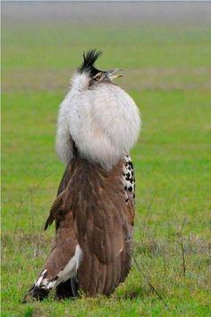 Korský chobot (Ardeotis kori) je najväčší lietajúci vták z Afriky .