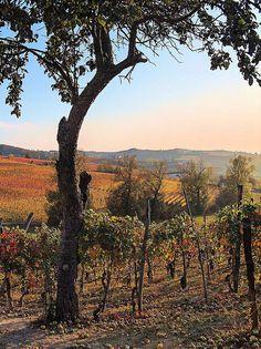 Sunset on the vineyard, Langhe