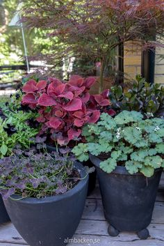 Tip-Top Trailing Plants For Containers – The Gardening Spot Big Plants, Exotic Plants, Tropical Plants, Indoor Plants, Organic Compost, Organic Gardening Tips, Container Plants, Container Gardening, Growing Flowers