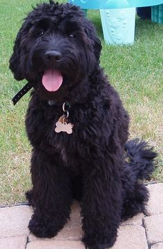 What Ellison's puppy will be as an adult! Pyrat the Goldendoodle! perfect non-allergenic LARGE dog...enough with the toy breeds!
