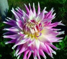 'Mingus Gregory' Dinnerplate Dahlia 2 tubers-Lilac with frosty white tips!