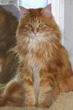 Maine coon - Owner Lesley White