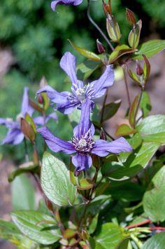 Clematis 'Petit Faucon' • Plants & Flowers • 99Roots.com