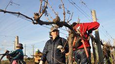 Pruning organic fruit trees
