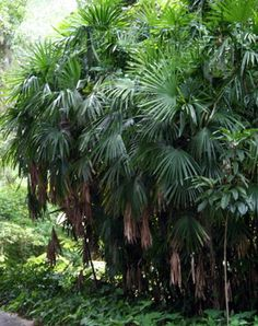 """Lady Palm Tree (Rhapis Excelsa) - (Great as houseplant too!) Zone 8b-11 Shade to Part Shade. Height/Width 5-10ft. Cold hardy, Slow growing (about 8"""" to 12"""" per year). self-propagates via underground rhizome offshoots, forming multi-stemmed clumps that can reach enormous width, spreading as wide as its height or more."""