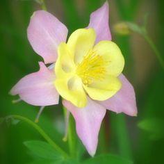 Columbine Aqulegia flower