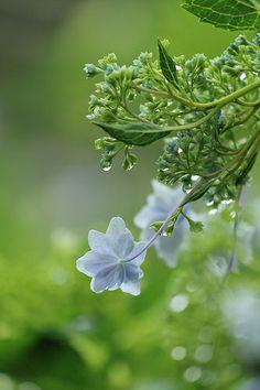 hydrangea with drops