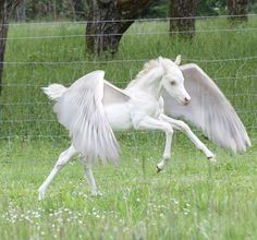 We can dream! Adorable little white foal with wings. Can you imagine?! Photoshop horse art.