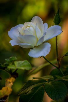 Una rosa en otoño by Francisco Garcia Diaz on Beautiful Flower Quotes, Amazing Flowers, Beautiful Roses, My Flower, Flower Vases, Flower Power, White Roses, White Flowers, Rose Bush