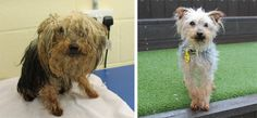 Meet Trixie. This gorgeous little 8 month old Yorkshire Terrier was handed over to Dogs Trust. Her hair was so matted that her tail was stuck to her legs.  At just 2.1kg, an incredible 0.2kg of hair was carefully removed and this lively little girl is now looking for a forever home. Could you be her new family?  https://www.dfordog.co.uk/blog/trixie-needs-a-home.html
