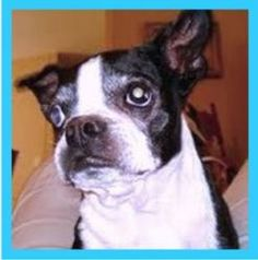* MILLIE * is an adoptable Boston Terrier Dog in North Augusta, SC. Meet our Millie, a purebred Boston Terrier who came into rescue after obviously living her entire life as a breeder. She is about 9 ...