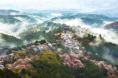 National Geographic photographie les Cerisiers japonais (3)