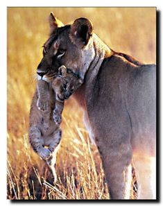 Your love for animals can now be seen on the walls of your house with this lion and cub big cat wildlife animal art print poster. This poster is definitely a classy addition in your room decor. Get up and grab this beautiful wall poster for its high quality paper with a high degree of color accuracy which ensures long lasting beauty of the product.