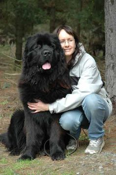 A Newfoundlander dog breed, a very large breed of dogs