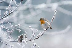 Foto Roodborstje op een winterstakjein de collectie collectiebevrorennederland