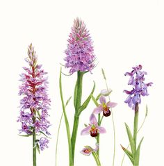 Botanical illustration of orchids in watercolour